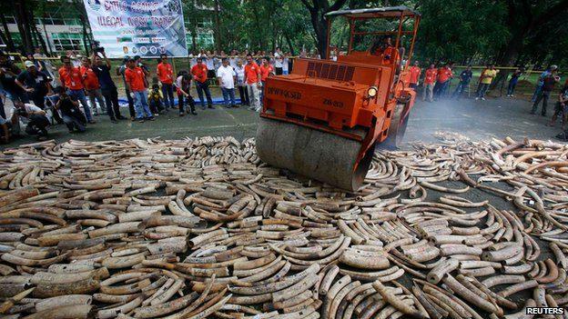 Ivory Destroyed