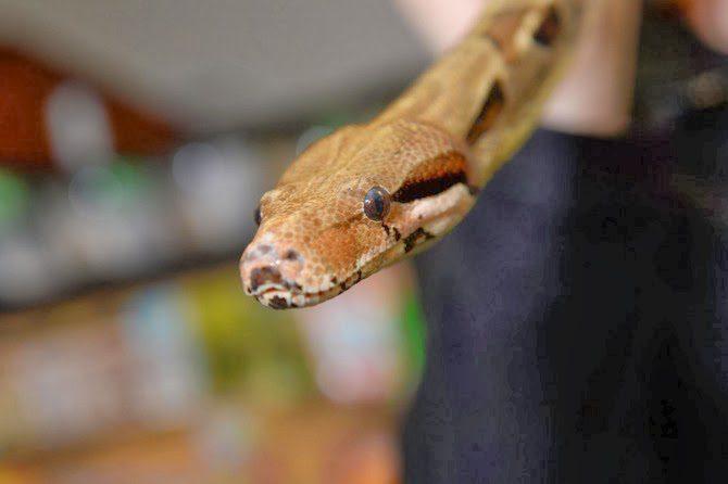 Wpid Snake