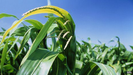 Restrictions have compelled only one variety of GM crop to be cultivated in European Union (EU).