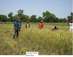 Government has allocated rice production targets to all regions in the country to become self-sufficient by 2017.