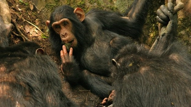 ? ? As the researchers watched the animals, they saw the behaviour spread from chimp to chimp