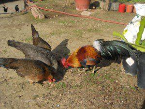 Fowls