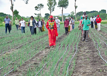 Farmers? battle for better prices in cotton production has taken a new turn in Bariadi District, Simiyu Region after they decided to cultivate onions in place of the traditional crop. (File photo)