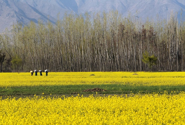 Kashmiri women carry gunny bags containing fodder for cattle as they walk in a mustard field in Bijbehara, about 55 km south of Srinagar, summer capital of Indian-controlled Kashmir, April 5, 2015. (Xinhua/Javed Dar)