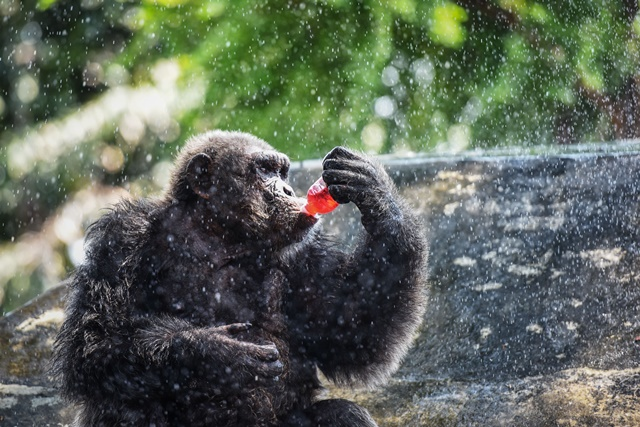 A gorilla drinks cold beverage while resting under artificial water spray at the Dusit Zoo in Bangkok, Thailand, April 22, 2015. (Xinhua/Li Mangmang)