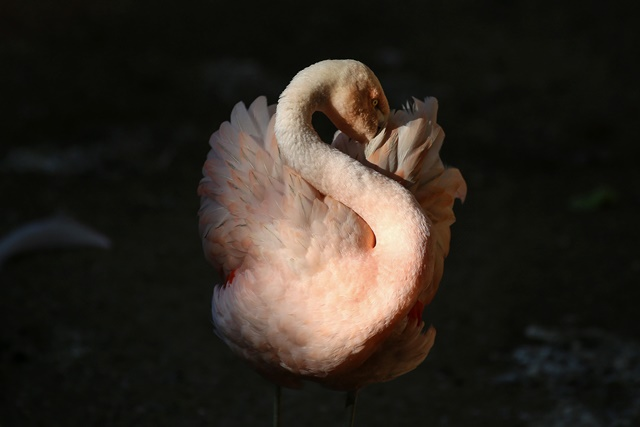 A Chilean flamingo is seen at the Municipal Zoo Quinzinho de Barros, in Sorocaba, Sao Paulo State, Brazil, on July 10, 2015. A flamingo in the zoo, which had its leg amputated, received a new prosthesis of 18 cm that was created from carbon fiber with silicone sleeve by orthopedic businessman Nelson Nole.  (Xinhua/Rahel Patrasso) (vf)