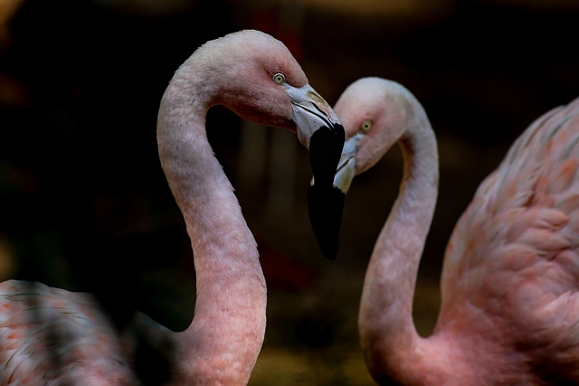 Chilean flamingos are seen at the Municipal Zoo Quinzinho de Barros, in Sorocaba, Sao Paulo State, Brazil, on July 10, 2015. A flamingo in the zoo, which had its leg amputated, received a new prosthesis of 18 cm that was created from carbon fiber with silicone sleeve by orthopedic businessman Nelson Nole. (Xinhua/Rahel Patrasso) (vf)