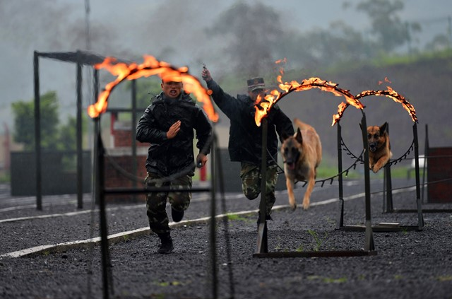 Police dogs try to cross fire rings in a drill under guidance of dog handlers of the 7th detachment of the Armed Police Corps in Chongqing, southwest China, July 15, 2015. (Xinhua/Zhang Chunhua) (lfj)