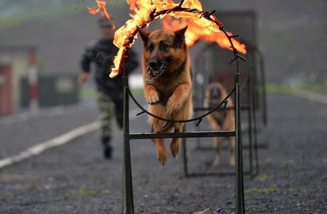 A police dog tries to cross a fire ring in a drill under guidance of a dog handler of the 7th detachment of the Armed Police Corps in Chongqing, southwest China, July 15, 2015. (Xinhua/Zhang Chunhua) (lfj)