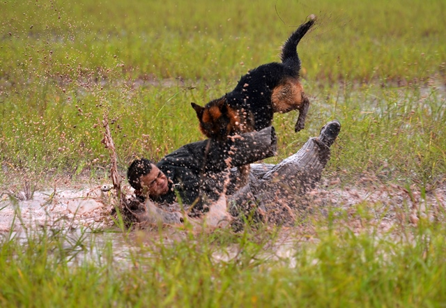 A police dog receives bite training in a drill under guidance of a dog handler of the 7th detachment of the Armed Police Corps in Chongqing, southwest China, July 15, 2015. (Xinhua/Zhang Chunhua) (lfj)