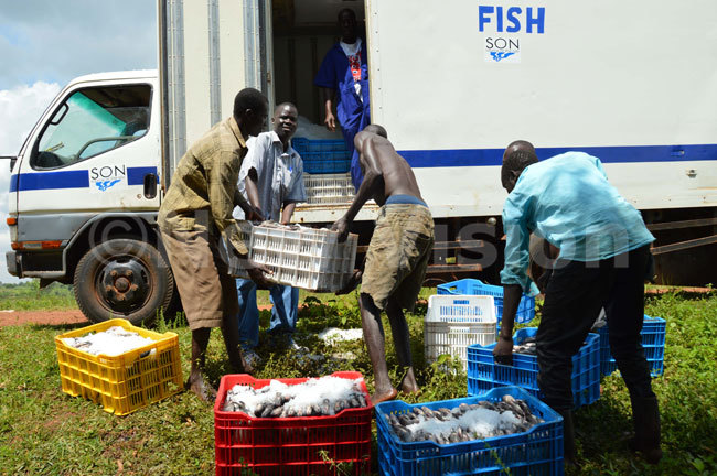 Workers at Leye Fish loading the fish on the truck