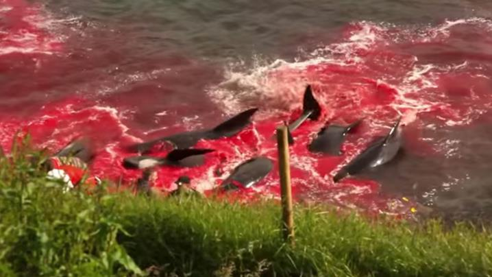 An annual event known as grindadr?p has taken place in the Faroe Islands with locals slaughtering over 200 pilot whales. (Sea Shepherd)