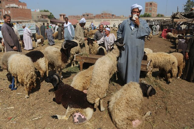 An Egyptian vendor handles livestock for sale at a livestock market set for the upcoming Muslim sacrificial festival Eid al-Adha, 60 km north of Cairo, Egypt, on Sept. 19, 2015. Muslims across the world are preparing to celebrate the annual festival of Eid al-Adha, or the Festival of Sacrifice, which marks the end of the Hajj pilgrimage to Mecca and in commemoration of Prophet Abraham's readiness to sacrifice his son to show obedience to God. (Xinhua/Ahmed Gomaa)