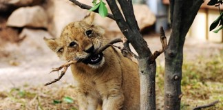 An African lion cub frolics at Qingdao Forest Wildlife World in Qingdao, east China's Shandong Province, Sept. 26, 2015. Seven manchurian tiger cubs and four African lion cubs here, all of which are three months old, met with the press recently. (Xinhua/Yu Fangping) (lfj)