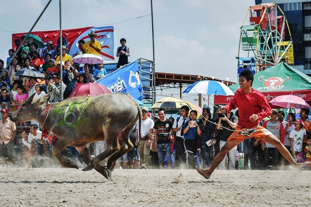 A man falls from the back of a galloping buffalo during the Buffalo Racing Festival in Chonburi, Thailand, Oct. 26, 2015. The annual Buffalo Racing Festival of Thailand's Chonburi Province has been a local tradition for over 140 years. Rice farmers engage themselves in buffalo races to show appreciation to the hard work of buffalos, which play a vital role in rice production. (Xinhua/Li Mangmang)