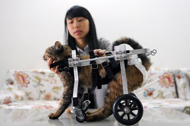 """Girl nicknamed Xiaojiu mounts a wheelchair for the cat named as Guolai, meaning """"come here"""", in southwest China's Chongqing Municipality, Oct. 28, 2015. Half a year ago, Xiaojiu saved the stray cat which suffered from paralysis of two legs. Besides helping the cat have medicine, the girl made a wheelchair for it.  (Xinhua/Tang Yi) (zhs)"""