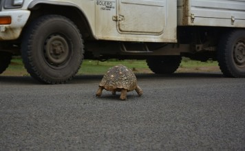 A tortoise crawls along a road in Baringo county, Kenya, Nov. 17, 2015. Residents of Baringo want the Kenyan government to put measures in place to curb tortoises causing accidents on the busy Marigat Road in the county. (Xinhua/Nyalwash)