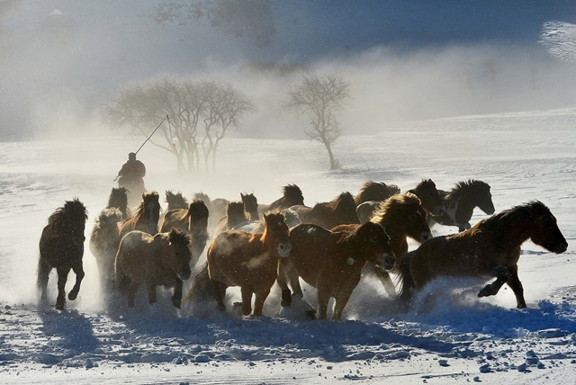 Horses gallop on the snow-covered Bashang Pasture in Chifeng City, north China's Inner Mongolia Autonomous Region, Dec. 19, 2015. (Xinhua/Gao Qimin)