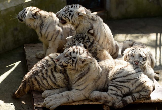 White tiger cubs are seen at the Yunnan Wild Animal Park in Kunming, capital of southwest China's Yunnan Province, Dec. 24, 2015. A rare set of white tiger quintuplets was born on Oct. 26, 2015 in the park. All five cubs survived their fragile newborn period, considered by experts as a miracle in the history of white tiger breeding.  (Xinhua/Lin Yiguang)