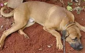 Ghana warned of more rabies related deaths amid shortage of dog vaccines