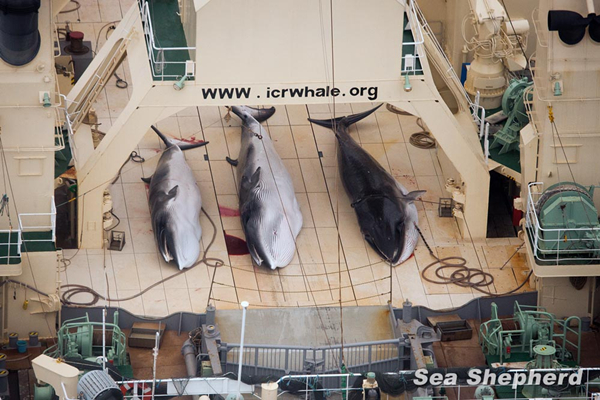 Three dead minke whales on the deck of a Japanese whaling vessel. [File photo/Sea Shepherd Australia]