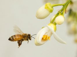 Bees help pollinate around 80 percent of all species of flowering plants, so without them many fruits and vegetables would be unable to reproduce (AFP Photo/Jack Guez)