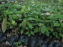 cocoa-seedlings