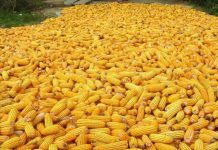 Maize roughage