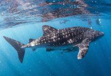 Photo taken on July 11, 2016 shows divers watching a whale shark near Ningaroo Reef in Western Australia. (Xinhua/Nathan Lin)