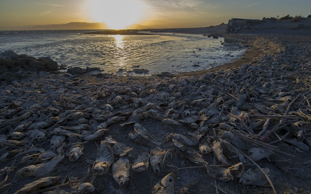 Lots of dead fish are seen on the bank of Salton Sea, a saline lake in Southern California, the United States, on April 29, 2016. (Xinhua/Yang Lei) (zw)