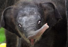 A baby Asian elephant explores the surroundings in the enclosure of Singapore's Night Safari, June 28, 2016. (Xinhua/Then Chih Wey) (zw)