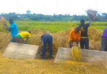 rice yields