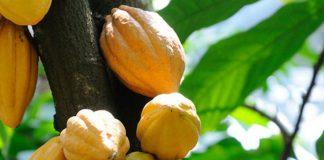 cocoa-plant