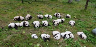 19 panda cubs born in 2017 make their debut at Shenshuping breeding base of the China Conservation and Research Center for the Giant Panda (CCRCGP) in Wolong National Nature Reserve, southwest China's Sichuan Province. (Photo by CCRCGP)