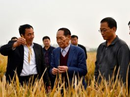 """Yuan Longping (second left), the """"father of hybrid rice"""", checks the growth of hybrid rice in a field at an agricultural technology institute in Handan City, north China's Hebei province, October 15. (Photo by Shi Ziqiang from People's Daily)"""