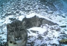 A photo of a snow leopard captured at the Wolong National Nature Reserve last winter. (Photo by Wolong National Nature Reserve)