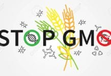 Stop gmo vector illustration. Creative concept with stop GMO slogan and wheat plants.