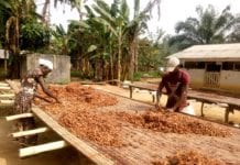 Farmers Drying their cocoa beans in the Eastern Region