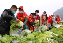Around 40 village cadres, members of the poverty alleviation working team, as well as young volunteers pick, wash and load the vegetables at the vegetable planting base of Xuyuan village on Feb. 5. Photo by Shi Chunlai, People's Daily Online