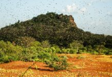 Photo taken on Feb. 4, 2020 shows a cloud of locusts flying in Mwingi North, Kenya. A number of East African countries are suffering serious locust infestation, with Kenya experiencing its worst in 70 years, which, if left unchecked, could grow 500 times in scale by June, a UN spokesman said Friday. Stephane Dujarric, spokesman for the UN secretary-general, said besides Kenya, Somalia and Ethiopia are undergoing their worst locust infestation in 25 years, and that Djibouti, Eritrea, Uganda and Tanzania are also experiencing swarm activity and locust breeding, while the risk of spread to South Sudan is high. (Xinhua/Fred Mutune)