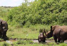 Black Rhino Akinyi Gives Birth To Th Calf At Meru