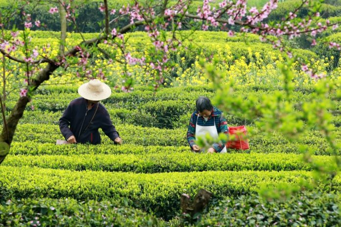 Farmers pick tea leaves at a tea plantation in Jiandong village, Maoping county of Yichang, Hubei province, March 22, 2020. Photo by Wang Gang, People's Daily Online