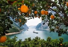 After vigorous development, navel orange planting has become a major source of income for relocated population from the Three Gorges Dam in Zigui county, Yichang of Hubei province. Zheng Kun/People's Daily Online
