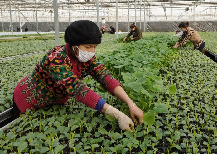 Farmers trim pumpkin leaves at a seedling cultivation base in Xinjiang Turpan Modern Agricultural Technology Demonstration Park in Turpan, northwest China's Xinjiang Uygur Autonomous Region, Feb. 24, 2020. Photo by Liu Jian, People's Daily Online