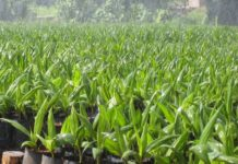 Palm Seedlings