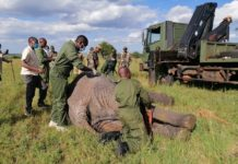 Kenya Wildlife Service (KWS) officials prepare to load one of the stray elephants on a truck in Kitengela, Kajiado County, Kenya, May 18, 2020. The KWS on Monday captured the three marauding elephants at Enkamuriaki, Kitengela area that had terrorized residents for three days. (Xinhua/Fred Mutune)