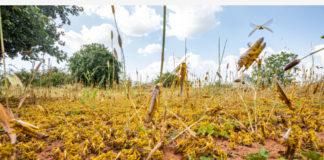 NAIROBI, June 19, 2020 (Xinhua) -- A swarm of desert locusts invade parts of Mwingi Town in Kitui County, Kenya, Feb. 20, 2020. (Xinhua/Zhang Yu)