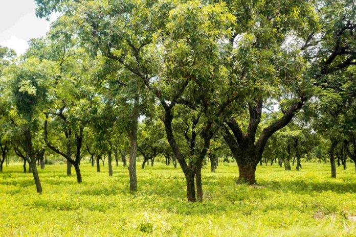 Shea Trees