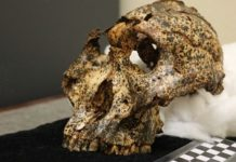 Paranthropus Robustus Had Relatively Large Teeth And A Small Brain