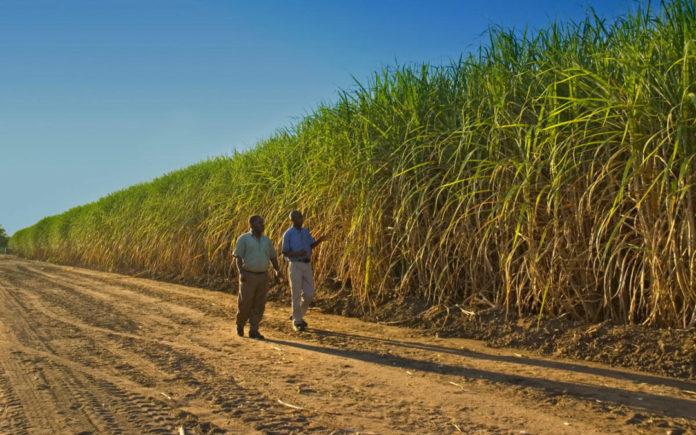Sugar Cane Worker South Africa